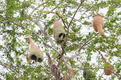 Weaver bird and nest Royalty Free Stock Photography
