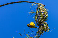 Weaver Bird Nest Building. Weaver bird with green grass strand in his mouth on the the side of his nest building exercise. The black yellow feathered red eye Stock Images