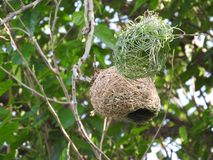 The contrast of a weaver bird`s new nest being built stock photos