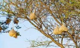 Weaver Bird Nests. Amazing Weaver Bird nests hang in trees in Botswana, Africa Royalty Free Stock Photos