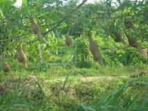 Weaver nests Stock Photos