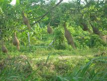 Weaver nests. Weaver bird nests blowing in the wind in Phetchaburi, Thailand Stock Photos