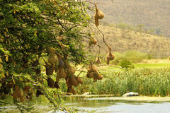Weaver-bird Nests Over a River Stock Image