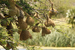 Weaver-bird Nests Over a River Stock Photo
