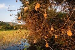 Weaver Bird Nests Wetland stock images
