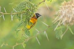 Weaver Bird på rede Arkivbild