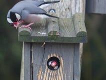 Weaver bird peeking out of it`s nest Stock Image