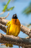 Weaver bird perched on a branch Royalty Free Stock Photography