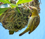 Weaver Bird Ploceidae on Nest Working Royalty Free Stock Photography