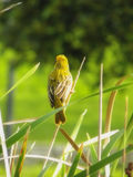 Weaver bird in reeds Stock Photography