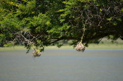 Weaver Bird's nests, Great Fish Nature Reserve, South Africa Stock Photos