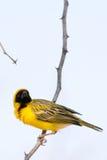 Weaver Bird som bygger hans rede i Namibia arkivfoto