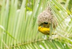 Weaver Bird som gör hem- renovering Arkivbilder