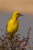 Weaver bird in South Africa Royalty Free Stock Images