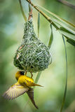 Weaver bird Royalty Free Stock Image
