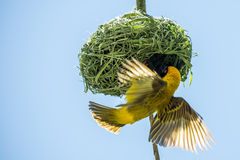 Weaver bird Stock Photo