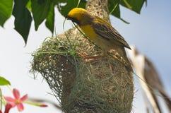 A weaver bird weaving its nest. stock images