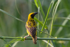 Weaver Bird Wetland Stock Images