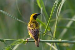 Weaver Bird Wetland stock images