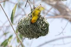 Weaver bird. Yellow male weaver bird building nest Stock Images