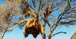 Weaver Birds. In the desert camp, near of Dune 45 Stock Image