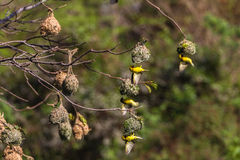 Weaver Birds Mating Season Nests Royalty Free Stock Photos