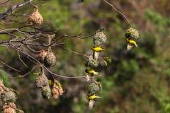 Weaver Birds Mating Season Nests royalty free stock photos