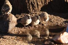 Weaver Birds Stock Photo