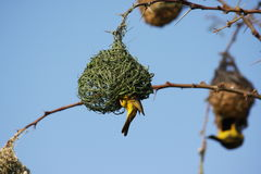 Weaver birds nest Stock Image