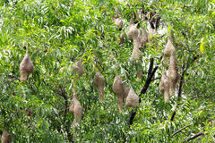 Weaver birds nests hanging on a tree Royalty Free Stock Photos