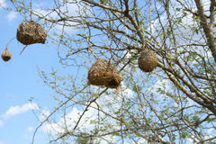 Weaver birds, South Africa Royalty Free Stock Photo