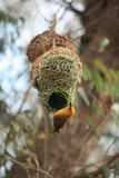 Weaver, bright African bird building his nest. South Africa Stock Images
