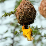 Weaver building a nest. In a tree by weaving grass Royalty Free Stock Photos
