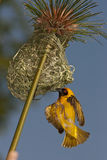 Weaver building a nest. A masked weaver male building a nest Stock Photo
