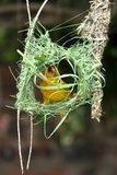 Weaver Building Nest. Cape weaver bird building it's intricate nest Royalty Free Stock Images