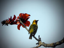 Weaver in Coral tree 1 Royalty Free Stock Photography