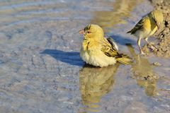 Weaver Fun en Vreugde - Afrikaanse Wilde Vogelachtergrond Stock Foto