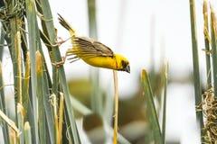 Weaver Island de oro asiático en la hierba foto de archivo