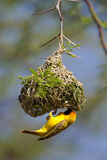 Weaver and nest. A southern masked weaver male building its nest in a thorn tree Royalty Free Stock Photography