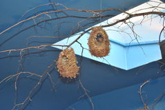 Weaver in nest. A little weaver sits in its nest, looking out royalty free stock images