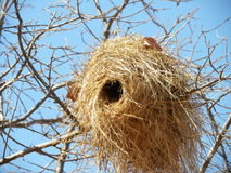 Weaver nest oriented to the west Royalty Free Stock Photography