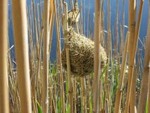 Weaver nest and reeds Stock Images