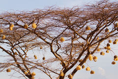 Weaver nests Stock Photography