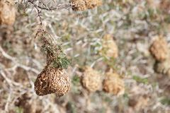 Weaver nests hanging off of thorn branches Royalty Free Stock Images