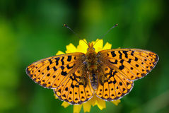 Weaver's Fritillary butterfly (boloria dia) Royalty Free Stock Photography