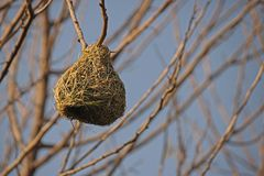 WEAVER`S NEST ON A BRANCH OF A MULBERRY TREE. View of a green weaver bird`s nest attached to the tip of a mulberry tree in a garden royalty free stock photography