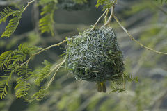 Weaver's Nest Royalty Free Stock Images