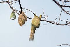 Weaver& x27; s-Nest mit ihrem Mutterweber Lizenzfreies Stockbild