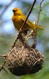 黄色Weaverbird 库存图片