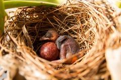 Weaverbird joven que duerme en la jerarquía Fotografía de archivo libre de regalías
